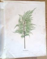 NATURSELBSTDRUCK STAMPE NATURALI REALIZZATE SENZA AUSILIO DI STRUMENTI  AUSTRIA 1853 - Prints & Engravings