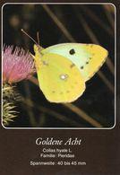 Goldene Acht (Colias Hyale) - Schmetterlinge