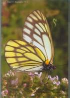 Chinesischer Baumweißling (Aporia Largeteaui) - Schmetterlinge