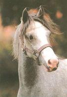 HORSES / PFERDE / CHEVAUX /  POSTCARD UNUSED SIZE XL   ( H  4608 ) - Pferde