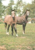 HORSES / PFERDE / CHEVAUX /  POSTCARD UNUSED SIZE XL   ( H  4611 ) - Pferde