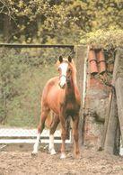 HORSES / PFERDE / CHEVAUX /  POSTCARD UNUSED SIZE XL   ( H  4617 ) - Pferde