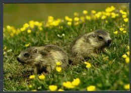 "CPM ""Marmotes"" - Animaux & Faune"
