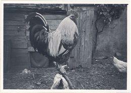 Photo Coq, 1947 - Photos