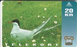 Faroe Islands - Bird - Arctic Tern - Faroe Islands