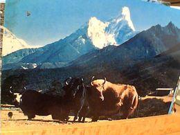 NEPAL Monte Amadablam E Yak -V1975 GN21011 - Nepal
