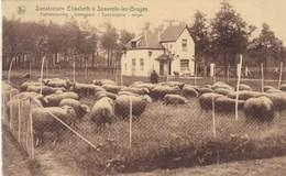 Sijsele, Sanatorium Elisabeth A Sysseele Lez Bruges, Portierswoning, Boomgaard, Schapen, Sheep, Moutons (pk42429) - Damme