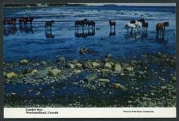 Canadá. NL - Gander. *Horses Rinning Wild During Summer...* Nueva. - Otros