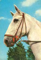 HORSES / PFERDE / CHEVAUX /    POSTCARD  USED     ( H  4657 ) - Pferde