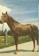 HORSES / PFERDE / CHEVAUX /    POSTCARD  USED     ( H  4662 ) - Pferde