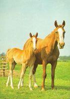 HORSES / PFERDE / CHEVAUX /    POSTCARD  USED     ( H  4663 ) - Pferde