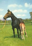 HORSES / PFERDE / CHEVAUX /    POSTCARD  UNUSED     ( H  4670 ) - Pferde