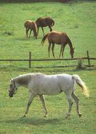 HORSES / PFERDE / CHEVAUX /    POSTCARD  UNUSED     ( H  4676 ) - Pferde