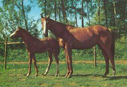 HORSES / PFERDE / CHEVAUX /    POSTCARD  UNUSED     ( H  4685 ) - Pferde