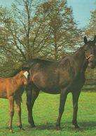 HORSES / PFERDE / CHEVAUX /    POSTCARD  UNUSED     ( H  4687 ) - Pferde