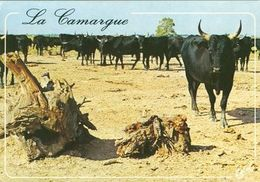 BULL  Postcard Used   ( Z 1067 ) - Stieren