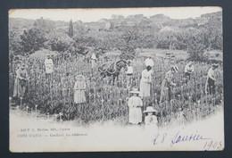 CPA - Carte Postale - COTE D'AZUR - Cueillette Des Tubéreuses - Cultures