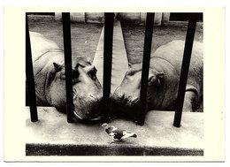 CPM Miles Forst - Couple D'hippopotames Observant Un Oiseau - Collection Magie Noire - Hippopotames