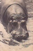 Animal Divers        26        Paris.L'un Des Hippopotames( 75 ? ) - Hippopotames