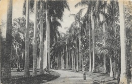 Sri Lanka (Ceylon, Ceylan) - Cabbage Palms, Peradeniya Garden - Carte Plâté Ltd, N° 104 Non Circulée - Sri Lanka (Ceylon)