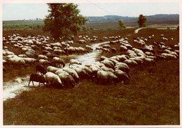 Photo Couleur B.B. Originale 1960 - Troupeau De Moutons à Paître Dans Une Prairie - Anonymous Persons