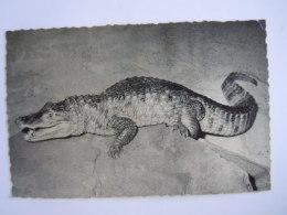 Antwerpen Dierentuin Anvers Jardin Zoologique Zoo Kaaiman Caiman Krokodil Gelopen 1963 Plooitje Hoek Nells - Antwerpen