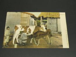 Cuba Cow Milking In Cuba Picture Postcard Corner Fold *8887 - Cuba