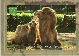 Parco Natura Viva Bussolengo (VR) - Cammello Della Battriana -. - Autres