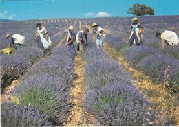 Cueillette De La Lavande - Flores, Plantas & Arboles