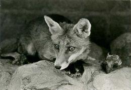 Fox, Lis - Animaux & Faune