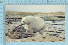 Ours, Bear - Ours Blanc Polaire, Bear Dining On Whale Hudson Bay Coast  Canada - Photo By L. W. Anderson - Ours