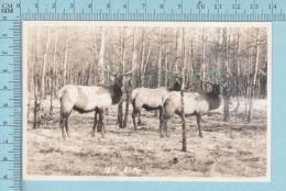 Elk, Wapiti - Real Photo  Vancouver Canada, 1952 - Animaux & Faune