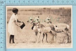 Antelopes, Antilopes  - Real Photo, AZO Paper, Feeding Time At Wainwright Park, Alberta Canada Cir: 1926-1940 - Animaux & Faune