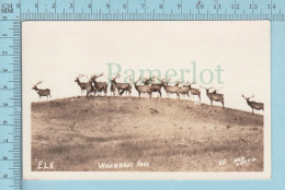 Elk, Wapiti - Real Photo On AZO Paper Wainwright Park , Alberta  Canada, Cir: 1926-1940 - Animaux & Faune
