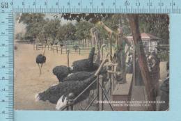 Autruche, Ostrich - CPA Feeding Oranges Cawston Ostrich Farm At South Pasadena California - Oiseaux