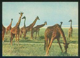 Serengueti. *Jirafas* Ed. Misioneros Espiritanos. Nueva. - Tanzanía