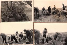 4 Photos Originales Fermiers, Fermières Et Ramassage De Pommes De Terre En 1961 - République Tchèque ? - Métiers