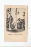CONAKRY CUEILLETTE DES PALMISTES - Guinée