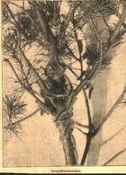 Prozessionsraupen / Druck, Entnommen Aus Zeitschrift / 1910 - Bücher, Zeitschriften, Comics