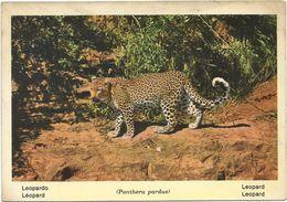 V1662 Leopardo Leopard Luipaard - Panthera Pardus / Non Viaggiata - Altri