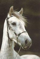 HORSES / PFERDE / CHEVAUX /    POSTCARD  UNUSED     ( H  4727 ) - Pferde