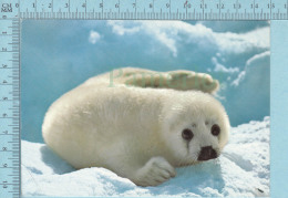 """Jeune Phoque Sur Banquise, Seal Pup On Ice Floe, """" Blanchon"""" Loup Marin Canada - Animaux & Faune"""
