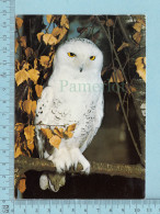 Snowy Owl, Harfand Des Neiges -  Chouette Harfand, Hibou - Oiseaux