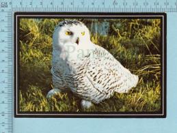 Snowy Owl, Harfand Des Neiges -  Chouette Harfand, Hibou Des Neiges - Oiseaux