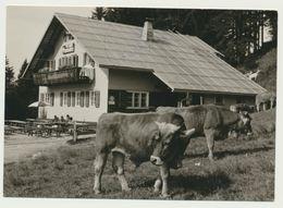 AK  Emser Hütte Bei Ebnit Mit Kühen Foto Karte - Austria