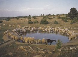 CPM  Représentant Des Moutons S' Abreuvant Dans Une Lavogne Sur Le Causse MEJEAN   //  TBE - Animaux & Faune