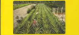 HABANA Campo De Pina Fine Apple Plantation (N° 39) Cuba - Cuba