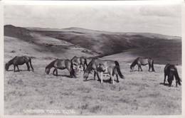 Postcard Dartmoor Ponies By Chapman My Ref  B11886 - Chevaux