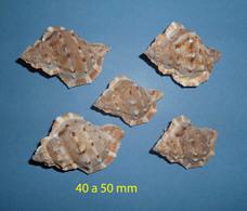 Bufonaria Ignobilis  New Caledonia Les 5 Coquillages + 1 Cadeau - Seashells & Snail-shells