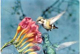 Thème - Animaux - Oiseaux - Colibri -  Zoo De Bales - Basel Zoologischer Garten - Uccelli